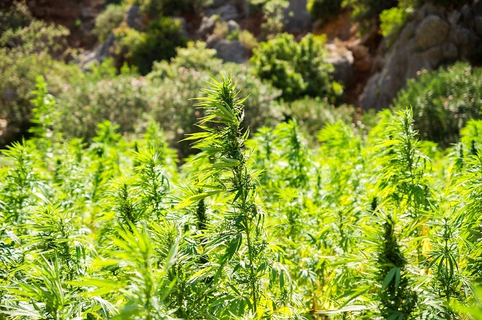 smoke plants and weeds